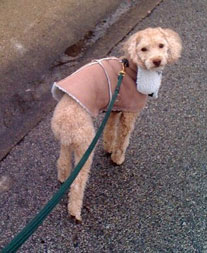 Ziggy the miniture poodle on his mid-day walk