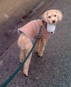 Ziggy on a cold weather walk