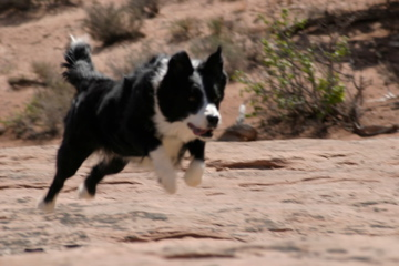 Molly at full speed in Moab Utah.