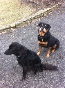 rottweiler and rescued dog
