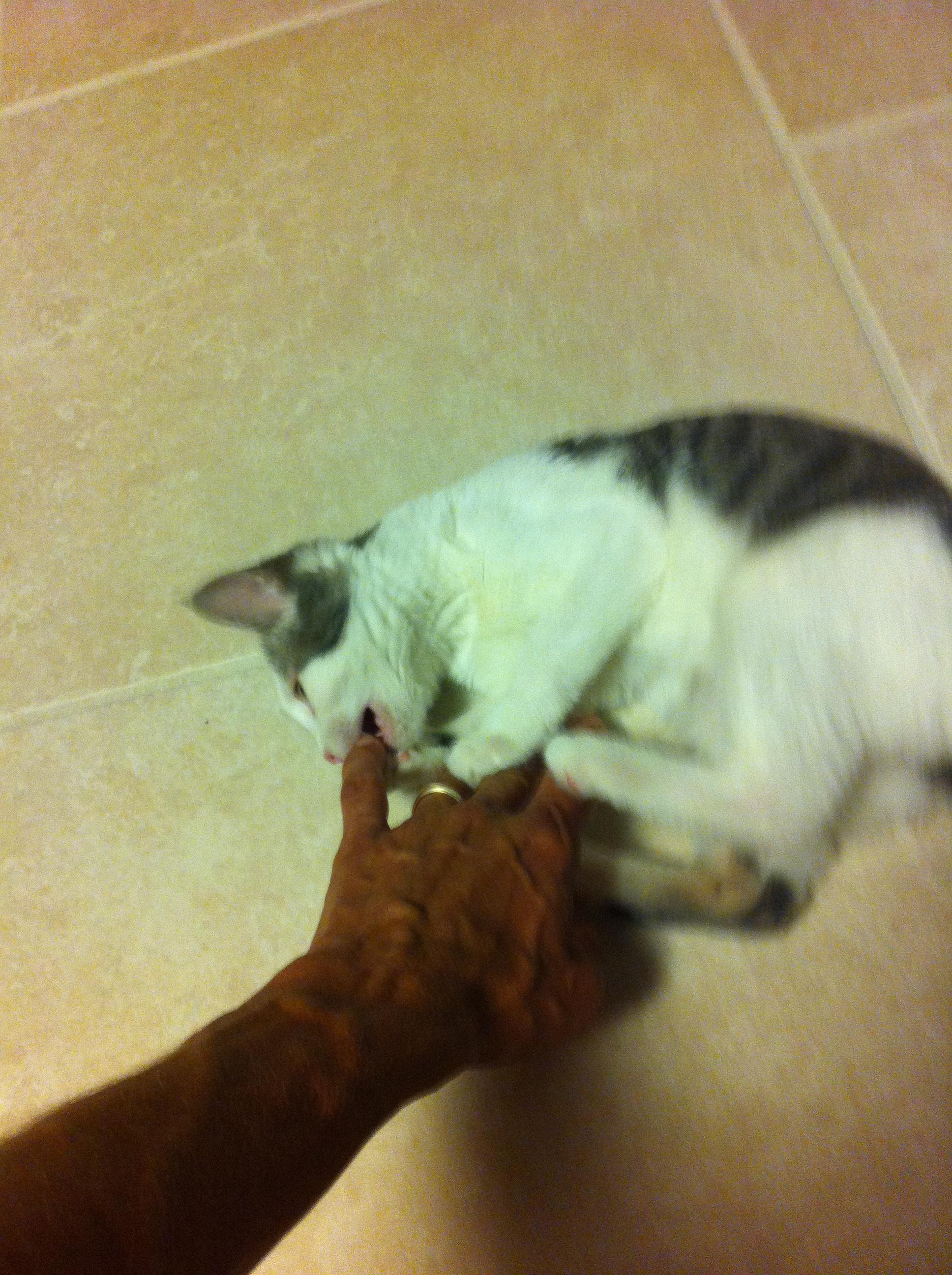 Kitten attacking finger.