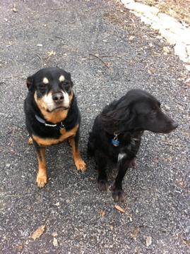 Rottweiler dog, Rescue dog