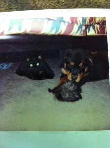 rottweiler and cat under couch