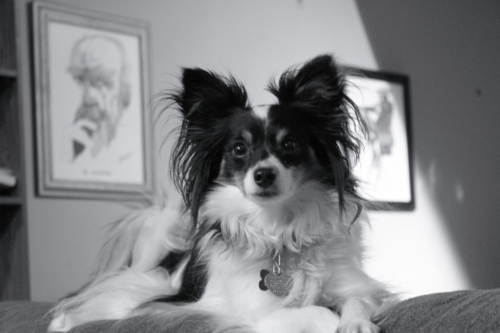 Papillon picture in black and white